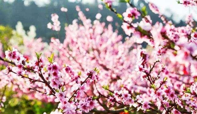 桃花已烂漫! 去龙泉踏春赏花这样走