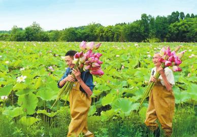 荷花产业美了乡村富了村