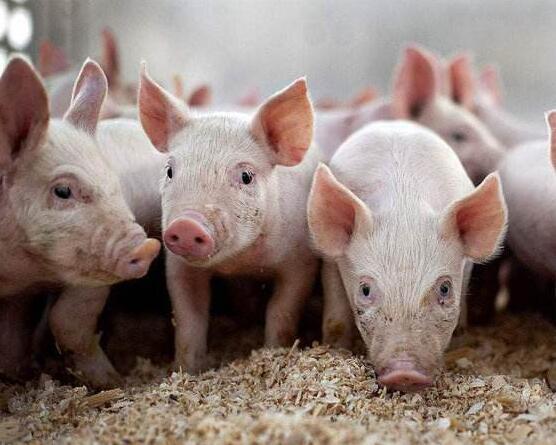 丢死猪造恐慌、诱猪农低价卖 官方发文严打炒猪团