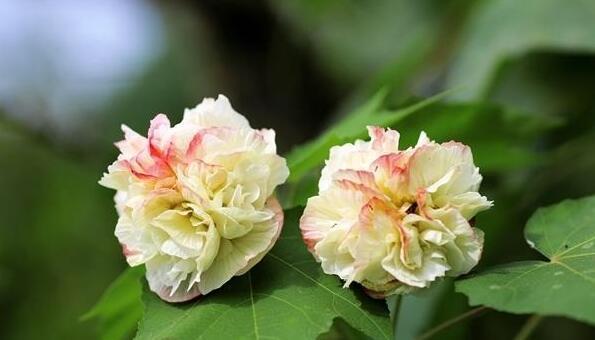 收下这份花香请帖 第二届天府芙蓉花节28日开幕