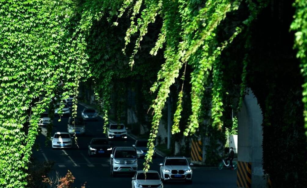 """成都二环高架铺满爬山虎 车辆穿梭""""绿色隧道"""""""