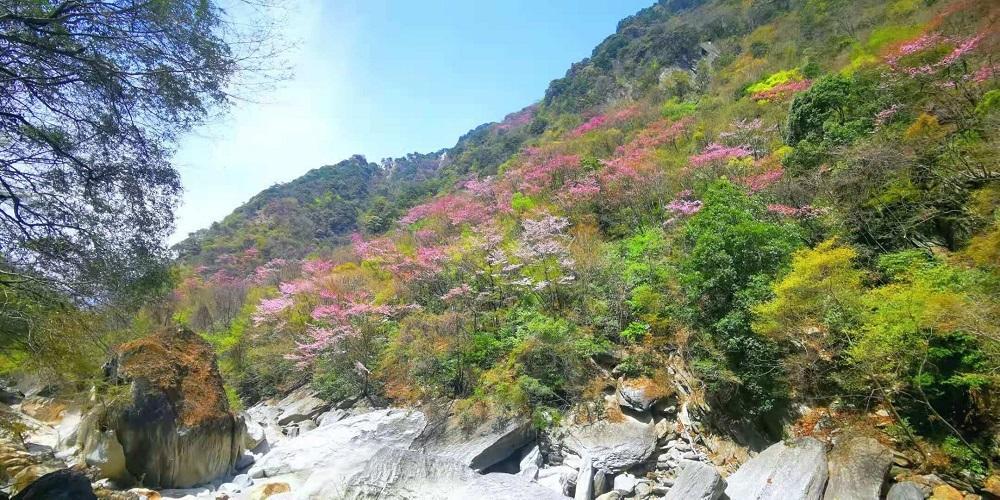 全国最大群落野生紫荆花